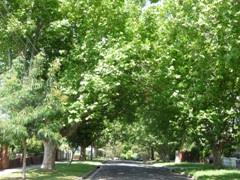 large trees in nature strip The Grove Coburg