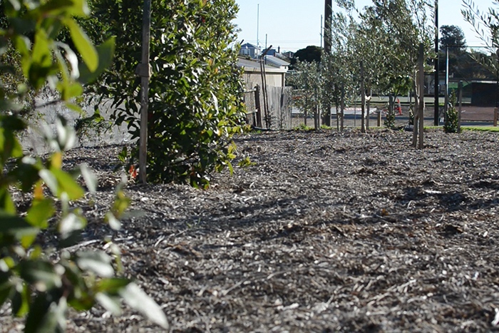 Community orchard with olive and citrus trees at Bush Reserve